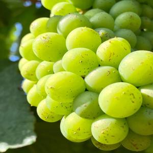 ☀️Le millésime 2020 s'annonce magnifique ! En Juillet, l'effeuillage et l'éclaircissage sont des travaux délicats, manuels et indispensables pour obtenir une vendange constante, de plus grande qualité. Peu pratiqués dans le vignoble, les travaux en vert de la vigne sont primordiaux pour garantir des raisins et des vins de qualité. L'effeuillage consiste à supprimer quelques feuilles situées au niveau de la zone fructifère. Cela favorise l'aération et l'ensoleillement des grappes du côté Est (soleil levant). Puis, l'éclaircissage (ou vendange en vert) consiste à sélectionner les meilleures grappes dès le mois de juillet pour obtenir une maturité optimale des raisins. ☀️  #conversionbio #vignoble #angersmaville #anjoutourisme #anjou #vignes #vigneron #loirevalley #loirelovers #fandechenin #sauveroy #angers #collegeculinairedefrance #anjoublanc #winelover #winetasting